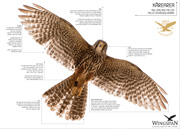 Wingspan 25th Anniversary Falcon Poster