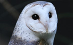 This Page Barn Owl Gallery