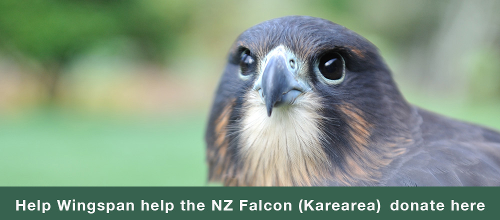 New Zealand Falcon Karearea bird of prey