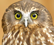 NZ Native owl - Morepork