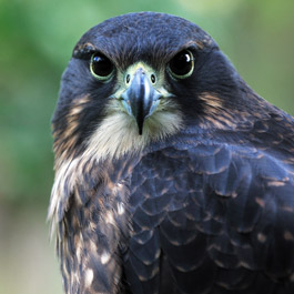 NZ Falcon Bird of Prey