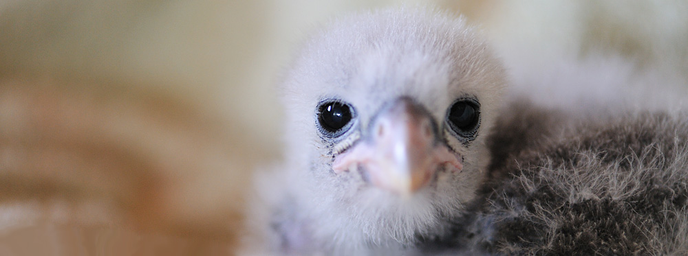 NZ falcon chick