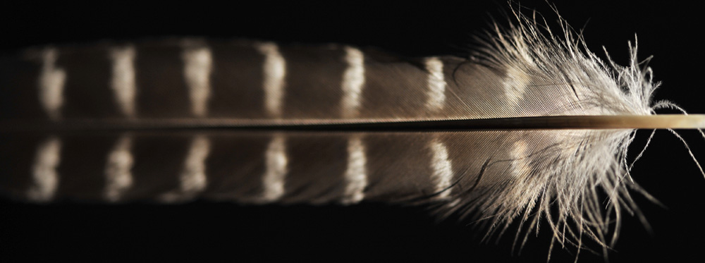 New Zealand Falcon feather