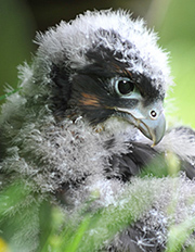 Wingspan donations - NZ falcon